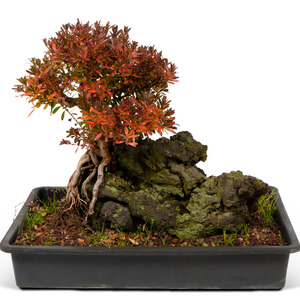 사철철쭉 현무암