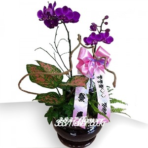 호접란 꽃미4호